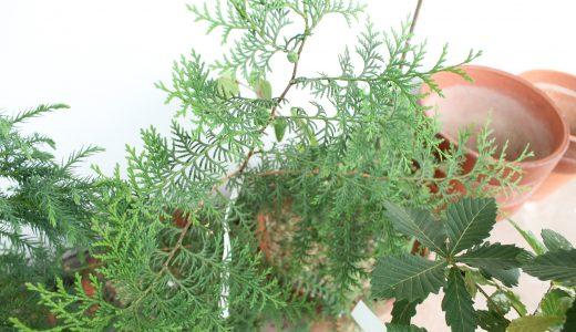木のコト。イチョウの木は針葉樹