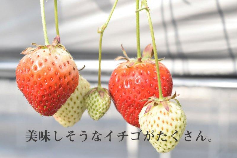 学校のイチゴ園